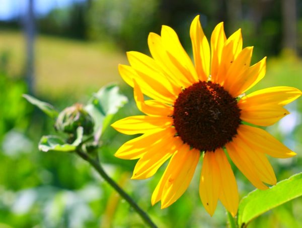 Wild Sunflower