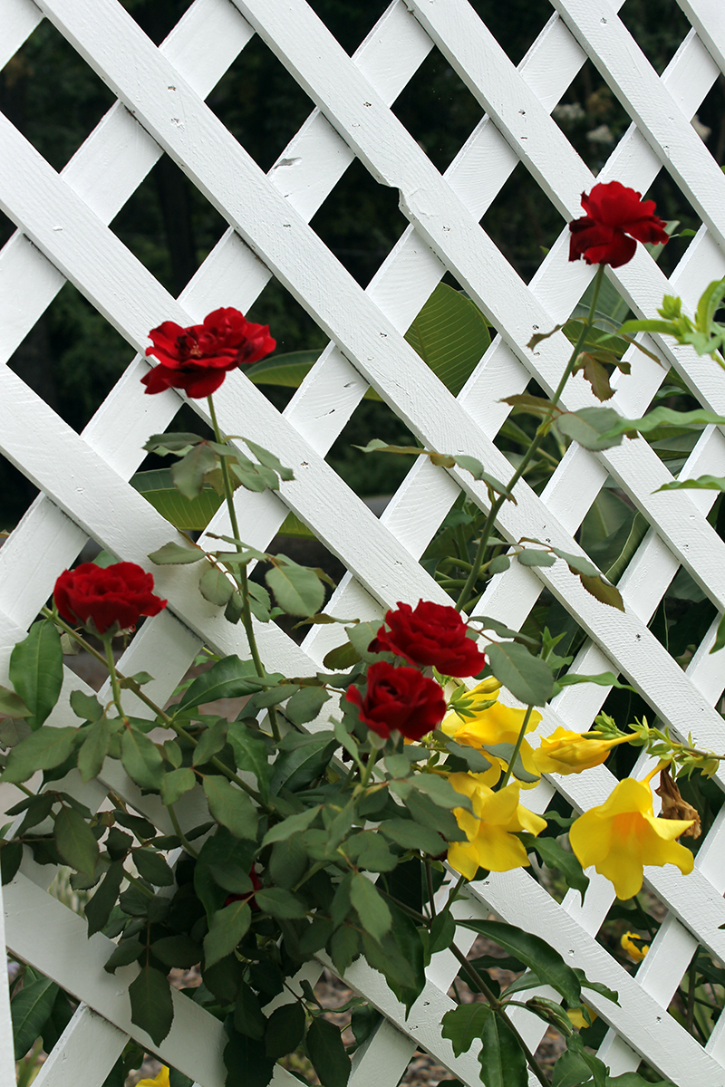 trellis with don juan roses and allamanda