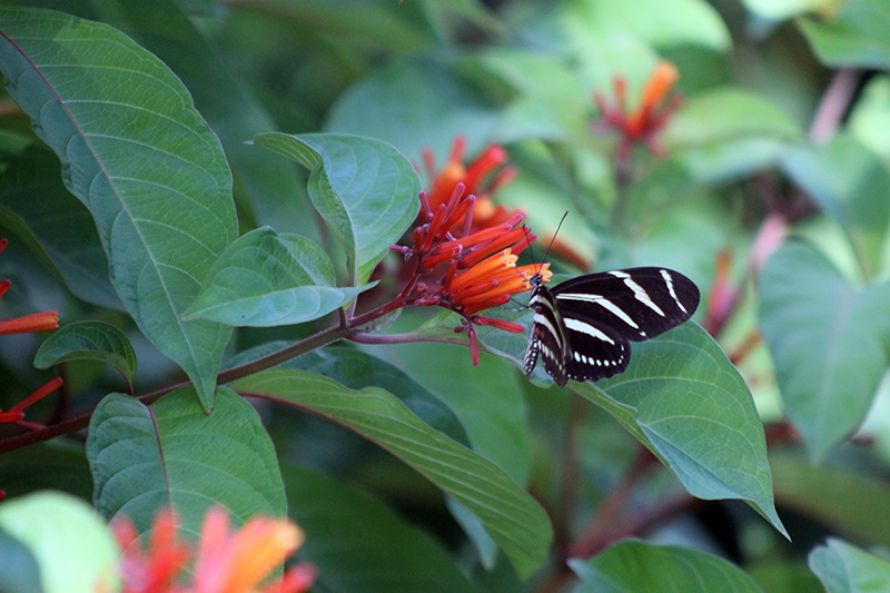 Hamelia and Zebra Longwing